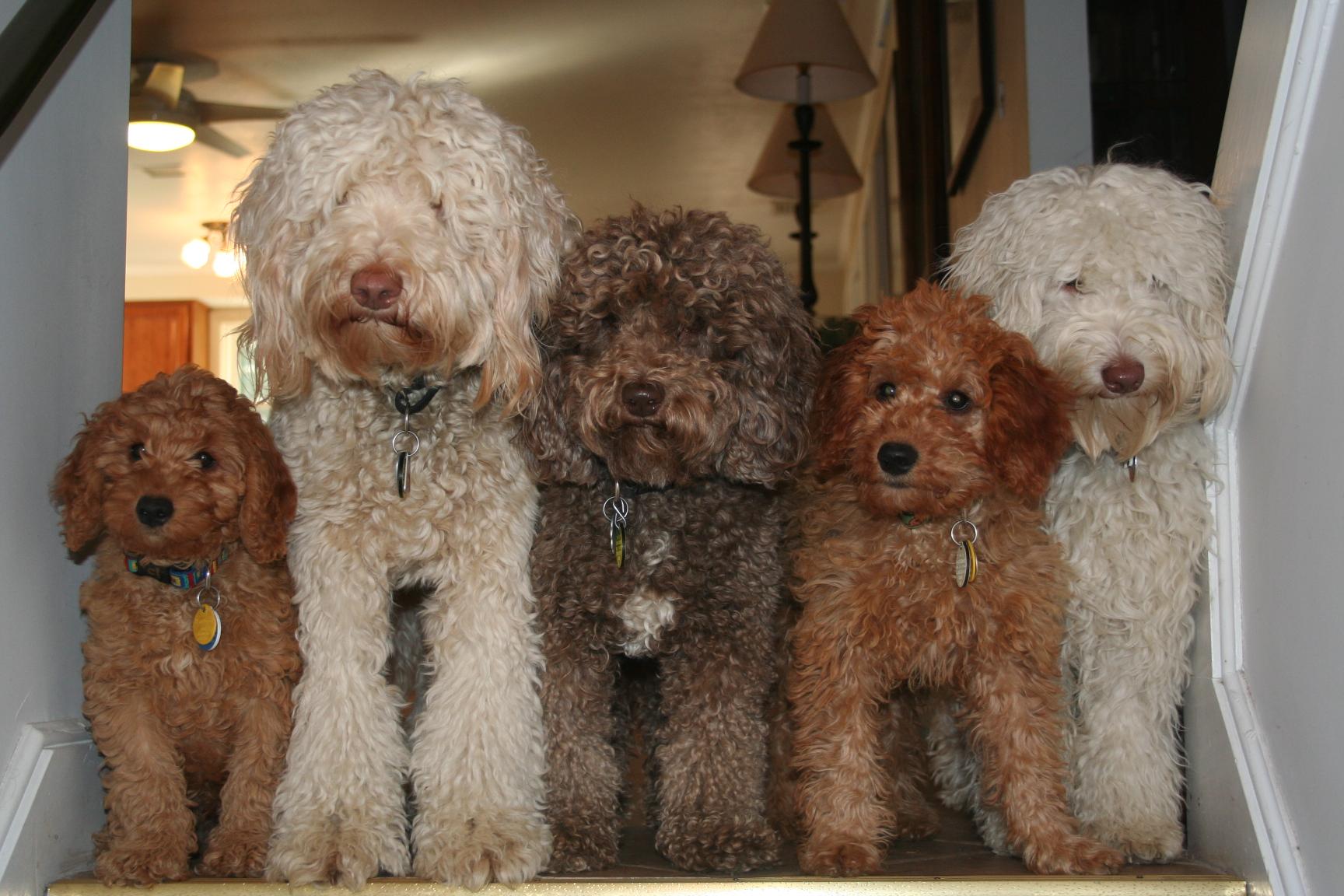Dizajnerskie psy – labradoodle i inne