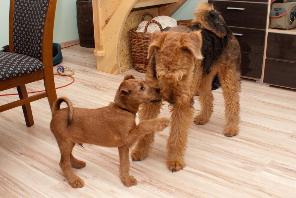 Kontakty z dorosłymi psami są niezbędne, aby szczeniak nauczył się odpowiedniej komunikacji ze swoim gatunkiem. Fot. Mateusz Radwan