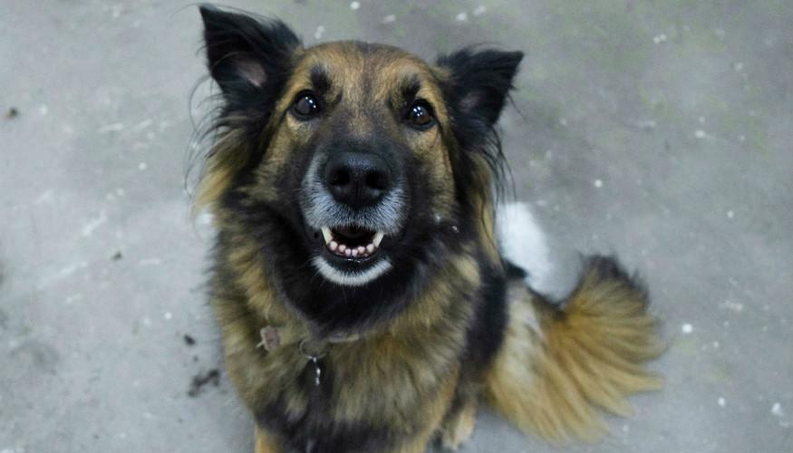 Młody pies z siwym pyskiem