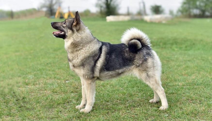 elkhund1