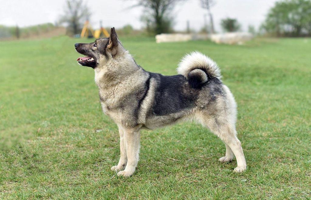 Elkhund szary – szpic do obedience?