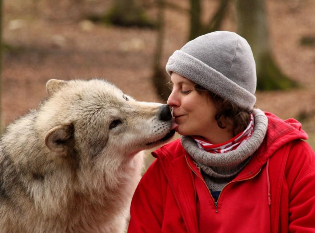 Dzień jak codzień, czyli praca z wilkami :) fot. wolfsciencecenter.com
