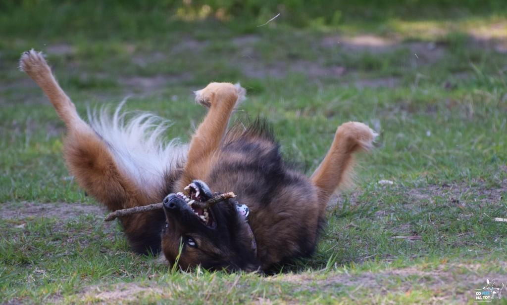Psy uwielbiaja sie tarzać.
